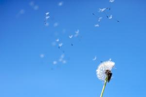 wind_dandelion2